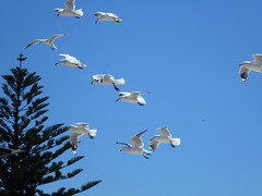 Seagulls at Safety Bay (Figgles1) Tags: seagulls bird birds seagull rockingham safetybay silvergull bentst silvergulls p1070397