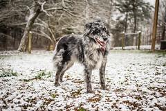 _DSC5025 (dogseat) Tags: winter dog pet snow cute eyecontact spotted pup aussie australianshepherd maiya bluemerle