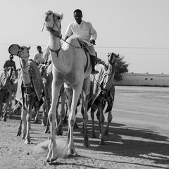 camels (agmimage) Tags: trip travel viaje people race photo nikon foto desert documentary camel doha qatar documental catar blackwhitephotos d7000 agmimage blinkagain alvatogalindomartinez sobatech