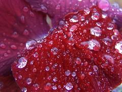 Rain Drop Polka Dots (deanrr) Tags: macro water reflections droplets petals alabama pansy raindrops morgancountyalabama