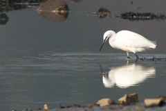 untitled-1725.jpg (Tim Geary) Tags: bird nikon lough little birding egret d800 larne islandmagee digiscope ballycarry