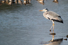 untitled-1704.jpg (Tim Geary) Tags: bird heron nikon lough birding d800 larne islandmagee digiscope ballycarry