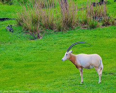 Lone Oryx (Scottwdw) Tags: travel wild vacation animals zoo orlando nikon florida resort waltdisneyworld akl mammals extinct savanna animalkingdomlodge scimitarhornedoryx d700 uzima scottthomasphotography afsnikkor28300mmf3556gedvr