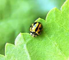 A Lady on the Edge (Jong Lee's Photo World) Tags: macro green nature insect leaf ladybird ladybug jonglee