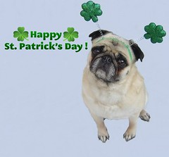 Pug St. Patrick's Day Diva! (DaPuglet) Tags: irish dog pets holiday cute green dogs animals puppy happy costume spring puppies funny paddy humor patrick pug card patricks pugs greeting