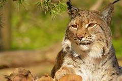 Eurasian Lynx 2013-03-08b (Rodger Coleman) Tags: zoo nashville grassmere eurasianlynx nikond7000
