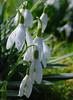 Spring hopes, eternal (Messent) Tags: flowers england spring poetry snowdrop poetryandpicturesinternational poetryforall