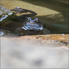 Frog Face (*ian*) Tags: nature water animal rock stone garden square pond floating amphibian h2o frog fluid float favourite liquid margin bigemrg mygearandme