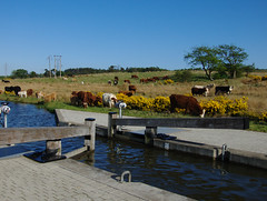 Cows at Union Canal (selkovjr) Tags: canal cows lock gates falkirk unioncanal