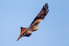 Red Kite in flight over farmland in mid Wales, UK (Andrew Sproule Photography) Tags: uk winter wild motion bird nature wales digital outdoors photography one countryside flying photo moving inflight wings movement europe european day natural image feeding native action britain outdoor wildlife flight wing beak feathers picture dramatic conservation bluesky nobody nopeople aves farmland raptor british endangered wilderness february activity rare avian birdofprey active intheair individual powys wyevalley midwales redkite birdlife rhayader elanvalley gigrin onthewing wingsspread forkedtail 2013 andrewsproule