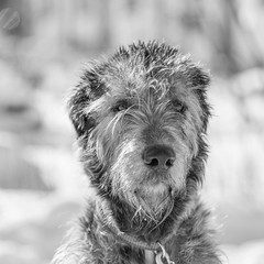 Potrait of a dog (Timo Toropainen) Tags: bw dog irishwolfhound