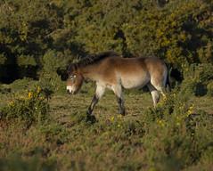 Exmoor Pony (Neezie Nev) Tags: wild horse canon eos pony heath 7d essex exmoor 70200mm tiptree 70200mmf4 exmoorpony canon70200mmf4 ef70200mmf4lisusm countyofessex canoneos7d