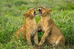 The Duet 2954 (Dr DAD (Daniel A D'Auria MD)) Tags: africa cats nature wildlife lions felines mammals lioness bigcats lioncubs bigfive big5 eastafrica pantheraleo wildlifephotography ndutu ngorongoroconservationarea march2013 danieldauriamd childrensbooksbydanieldauriamd drdadbookscom
