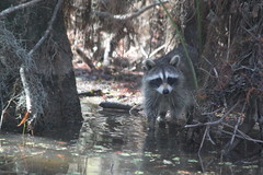 The killer swamp creature ready to attack our tour boat in Slidell, Louisiana (Hazboy) Tags: november vacation usa animal america island slidell us louisiana tour state critter south southern bayou honey swamp raccoon 2012 hazboy hazboy1