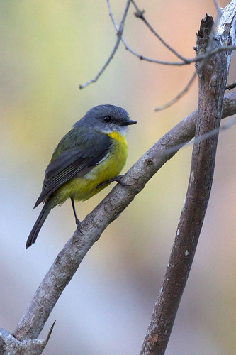 Petroicidae - Yellow Robin, Eastern