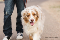 13 | 52 Weeks of Dogs -- Boomer (Aussies4me_ReenaG) Tags: dogs walking australianshepherd boomer aussies 52weeksfordogs