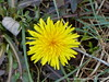 Dandelion flower, is Spring actually coming? P1000114 (Pitzy's Pyx, keep snapping away!.) Tags: wildlifetrust toddington scoopt dropshortmarshnr