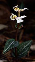 DisperisFH2_0680 20130328 1002 tripetaloïdes (evideerf2002) Tags: flower nature fleur réunion situ wildorchid orchidéesauvage disperis