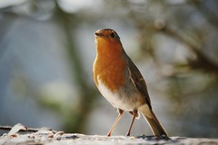 Bosherston - Robin (Harry_S) Tags: four olympus panasonic micro 43 omd thirds 100300 m43 fourthirds bosherston em5