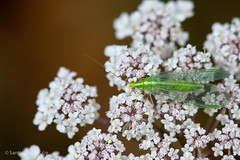 Chrysoperla on an umbellifera (Zalacain) Tags: white flower macro green insect spain oleiros insecto acorua insecta chrysoperla chrysopidae umbellifera