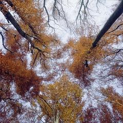 Golden Forest (M a r c O t t o l i n i) Tags: trees color 6x6 film nature zeiss forest square switzerland suisse kodak arbres epson mf 100 couleur forêt carré planar vaud goldenlight hasselblad500cm v700 vuescan epsonv700 epsonperfectionv700 planar2880mm heuredorée marcottolini 6x6only
