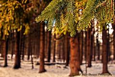 Yaddo Pines (Julie Frances Photography) Tags: trees newyork me saratoga gear pines and premium yaddo my mygearandme mygearandmepremium