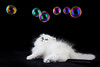 Les Persans de Fannie (Les Persans De Fannie) Tags: cats pets cat persian chats kitten chat chinchilla animaux bulles fannie bulle chaton chatons persan