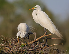 Egret Pair on Nest (Let there be light (Andy)) Tags: birds texas egret rookery nesting highisland texasbirds featheryfriday houstonaudubon uppertexascoast smithoaks slbnesting slbcourtship