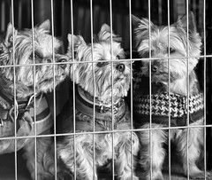I Don't Know About You Guys But If I Get Out, I'm Running for The Hills!!!!! (GAPHIKER) Tags: portrait dog dogs yorkie fence cage terrier norwich doggie norwichterrier