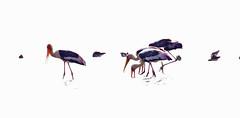 Th13_05261a (jerryoldenettel) Tags: bird thailand stork paintedstork ciconiiformes mycterialeucocephala mycteria 2013 ciconiidae bangtaboon bangtaboonmarshes