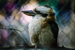 مرغ هوا/ The Bird (mohammadali) Tags: life city trip vacation canada bird colors birds animal canon eos zoo persian poem edmonton cage alberta poet 2008 تابستان vally مرغ عکس laughingkookaburra حیوان سهراب سپهری حیوانات xti 400d rebelxti canonrebelxti edmontonzoo هوا سهرابسپهری کانادا باغوحش vallyzoo کانادایی مرغهوا هرکهبامرغهوادوستشودخوابشآرامترینخوابجهانخواهدبود