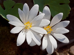 Sanguinaria candensis (JacquiTnature) Tags: floor blossom bloom flowersandplants wildflowersnaturewvwoodlandspringjacquitwhitepoppy familysanguinaria canadensispapaveraceaeforest
