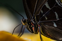 Heliconius spec (Paul_Heineman) Tags: blue summer hot holland green netherlands amsterdam yellow butterfly zoo nikon warm eating tropic morpho tamron 90mm spec artis vlinder tamron90mm caligo peleides heliconius helenor d3100 nikond3100