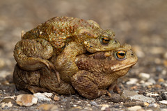 Common toad (fphoward) Tags: spring toad radleylakes