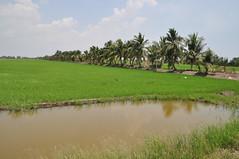 Rice paddy 22 (SierraSunrise) Tags: thailand rice paddy chachoengsao oryzasativa