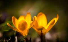 Yellow Crocus (CecilieSonstebyPhotography) Tags: flowers flower macro green yellow oslo closeup canon spring outdoor duo ngc crocus april botanicalgarden krokus botaniskhage vår markiii asparagales sverdliljefamilien ef100mmf28lmacroisusm enfrøbladedeplanter