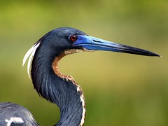 Tri-Light (PelicanPete) Tags: nature beauty unitedstates florida wildlife profile headshot wetlands redeye boyntonbeach southflorida tricoloredheron supershot specanimal avianexcellence adorablecritters naturesspirit 10nw birdperfect naturallywonderful 5wonderwall aviancapture dmslair thesunshinegroup sunrays5