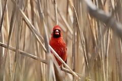 'Singing in the Reeds' (Baltimore Bartender) Tags: cardinal northpointstatepark marylandbirds