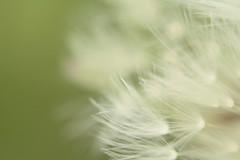 dandelion seed 2 (f.tyrrell717) Tags: food flower spring weed dandelion seeds