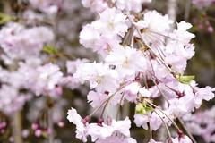 (ddsnet) Tags: travel plant flower japan sony  cherryblossom  sakura nippon  kansai  nihon hanami  backpackers  flower     nex      wakayamaken   cherry  blossom mirrorless japan  wakayamashi  flowerinjapan newemountexperience nex7