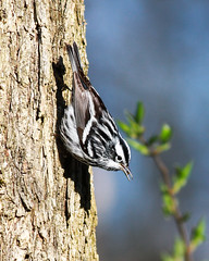 Black-and-white Warbler (mattlev12) Tags: blackandwhitewarbler