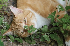 another wasted day --EXPLORED (judecat (getting back to nature)) Tags: simon feline catnip redtabby