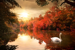 Swan in the autmn (lisame0511) Tags: autumn forest landscape nature bird swan river season tree water branch red environment morning outdoors park plant reflection cloud yellow beautiful bush lake light natural day wood beauty color colors horizontal lush sunrise sunset outdoor colorful scene sky sunbeam zzzaaaaabbfdhhgbgocagjgocahegigfcagbhfhegngo atlantic barbados religion coastline india hinduism coconut palms unspoilt empty mystic moon personas sunlight nonurbanscene tranquilscene beautyinnature ruralscene ukraine