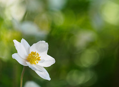 Bokehlicious summer (4) (Karsten Gieselmann) Tags: white flower color green yellow de bayern deutschland spring dof seasons blossom bokeh jahreszeiten blumen olympus gelb anemone grn farbe frhling blten schrfentiefe weis m43 mft vintagelens burglengenfeld czjpancolar50mmf18 microfourthirds focusblending em5markii kgiesel