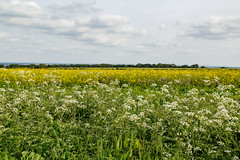 (peaflockster) Tags: england southwestengland travel hiking countryside trailside rapeseed cowsparsley crops wildflowers