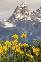 Wyethia with Grand Teton as Background (Xiang&Jie) Tags: snow flower grass yellow landscape grand teton wildflower grandtetonnationalpark wyethia