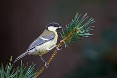 Great tit (GaseousClay1) Tags: bird nature tit wildlife great habitat greattit avian parusmajor plumage worcestershirewildlifetrust