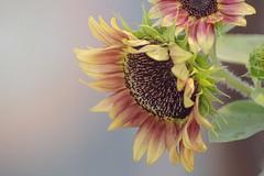 Sunflower glow (Poole-shooter Cindi) Tags: sunflower redsunflower redflower flower strawberryblondesunflower nc drooping wheresthesun glow