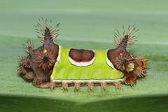 Saddleback Caterpillar (Acharia stimulea) (Steve Byland) Tags: saddleback caterpillar acharia stimulea night flash canon 7d markii