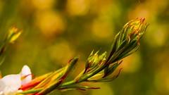Plante Sauvage (Yasmine Hens) Tags: ngc world100f hensyasmine hens yasmine flickrunitedaward namur iamflickr flickr belgium wallonie europa
